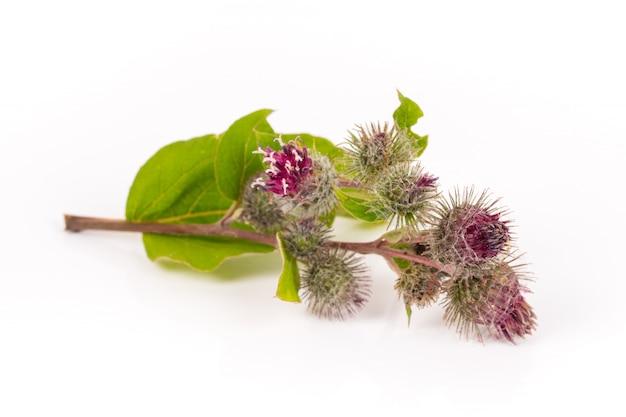 Branche de bardane en fleurs isolée