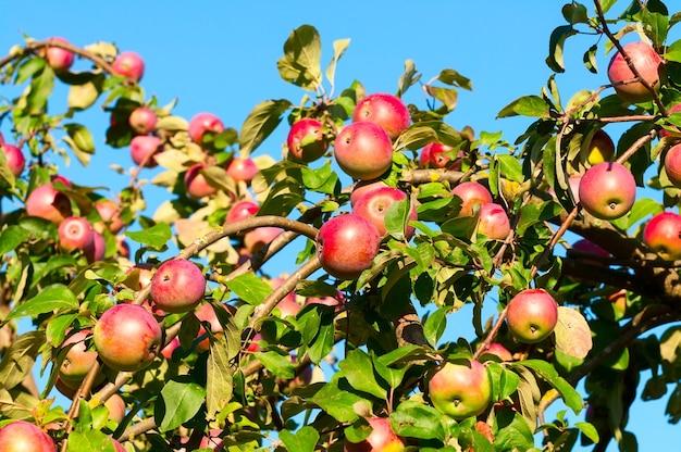 Une branche avec beaucoup de pommes rouges