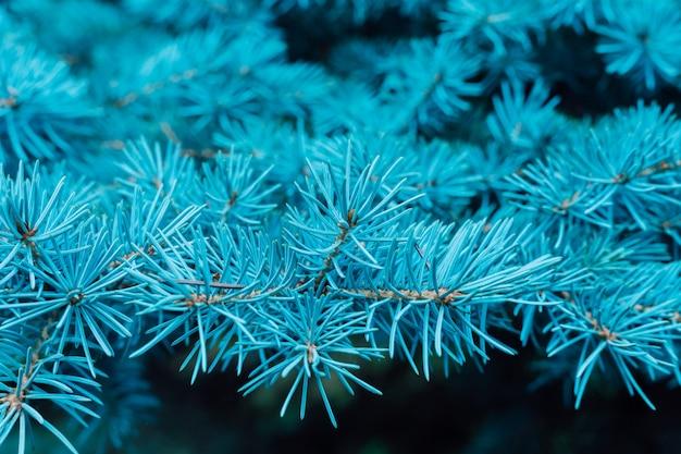 Branche d'une belle épinette bleue