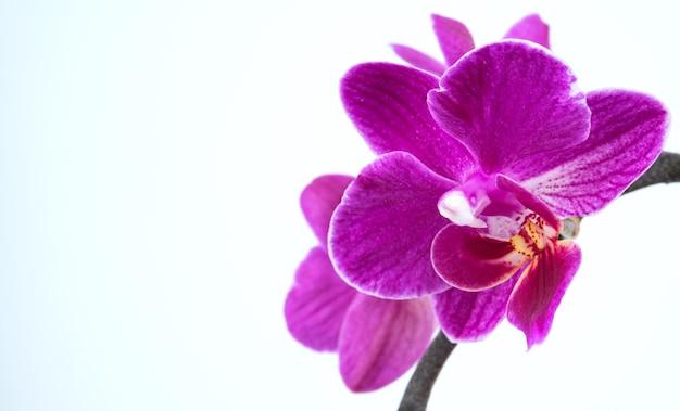 Une branche d'une belle orchidée phalaenopsis pourpre sur fond blanc