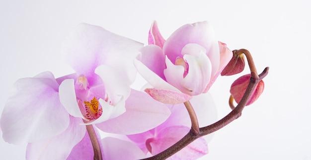 Une branche d'une belle orchidée violette pastel phalaenopsis sur fond blanc. image isolée, macro et en gros plan.