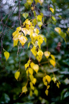 Branche de bouleau avec des feuilles humides jaunes sur un fond sombre