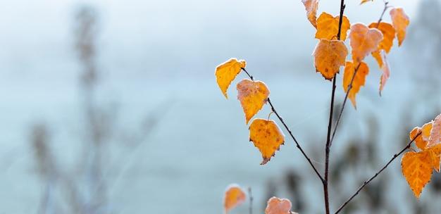 Branche de bouleau avec des feuilles jaunes couvertes de givre sur fond flou, panorama, espace pour copie