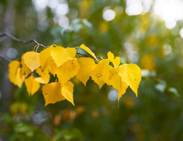 Branche de bouleau à feuilles jaunes