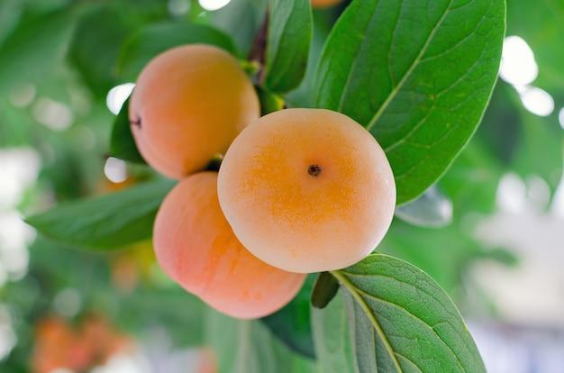Branche avec un bouquet de kaki orange mûr sur un arbre.