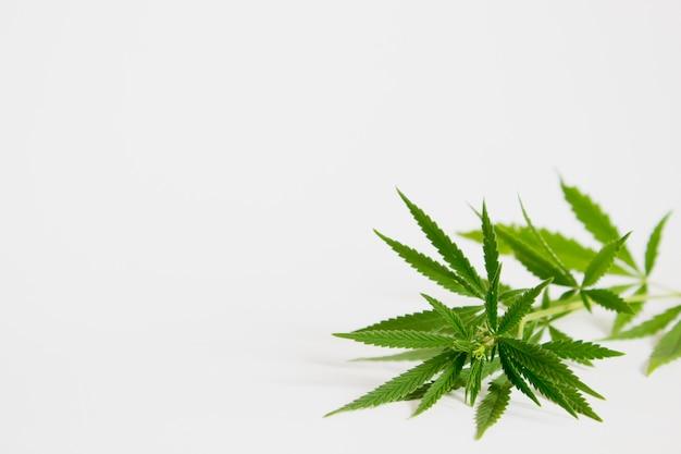 Branche de cannabis vert