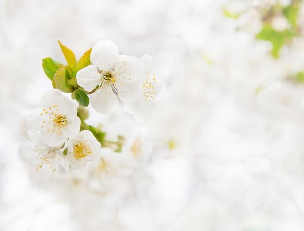 Branche de cerise