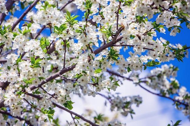 Branche de cerises à fleurs blanches sur le fond du ciel bleu_