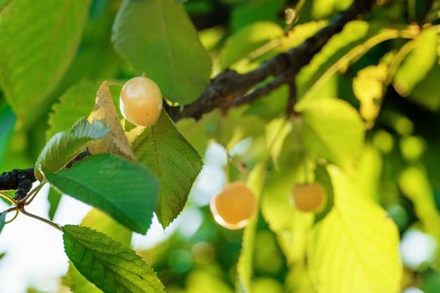 Branche de cerises jaunes naturelles fraîches. frais, naturel, sain. cerises jaunes sur une branche