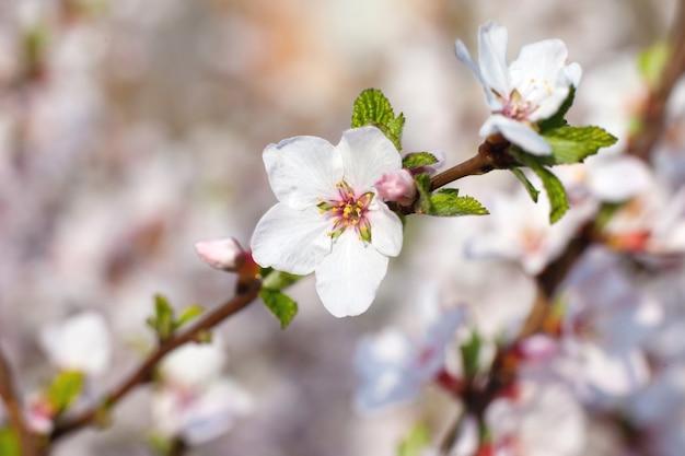 Branche de cerisier avec des fleurs blanches dessus