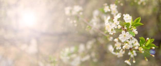 Branche de cerisier en fleurs dans le jardin de printemps lors de la cérémonie de mariage.