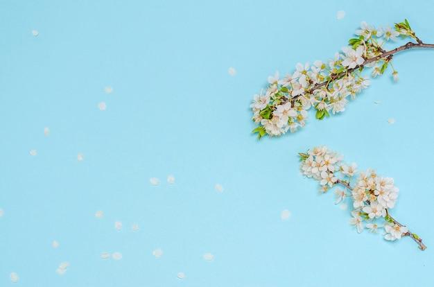 Branche de cerisier en fleurs avec des fleurs blanches sur bleu