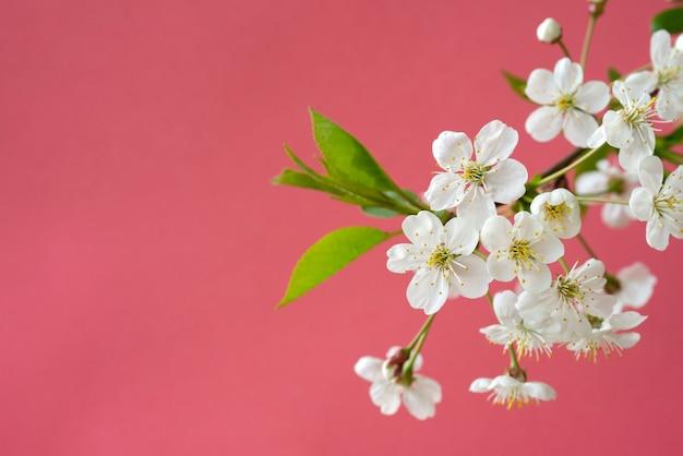Branche de cerisier en fleurs. fleurs blanches de printemps. arbre à vin en fleurs.