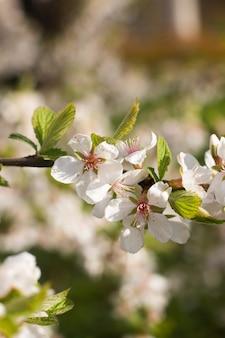 Une branche d'un cerisier en fleurs. plante à fleurs. fleurs blanches. brousse de printemps.