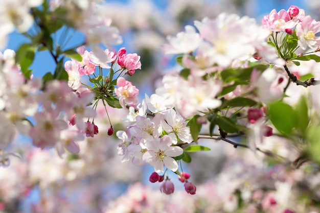 Branche de cerisier en fleurs.
