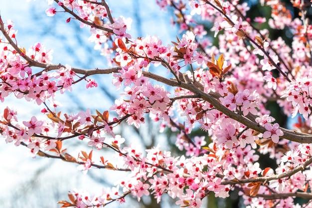 Branche de cerisier japonais avec des fleurs roses en journée ensoleillée sur fond de ciel bleu