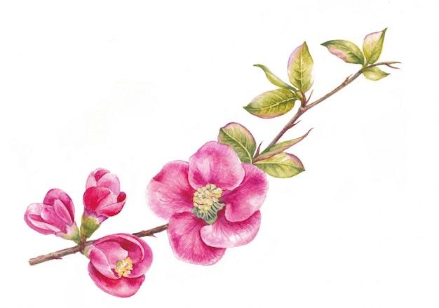Branche de cerisier japonais sakura réaliste avec des fleurs épanouies. illustration aquarelle