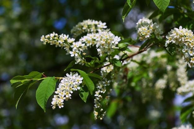 Branche de cerisier des oiseaux au printemps