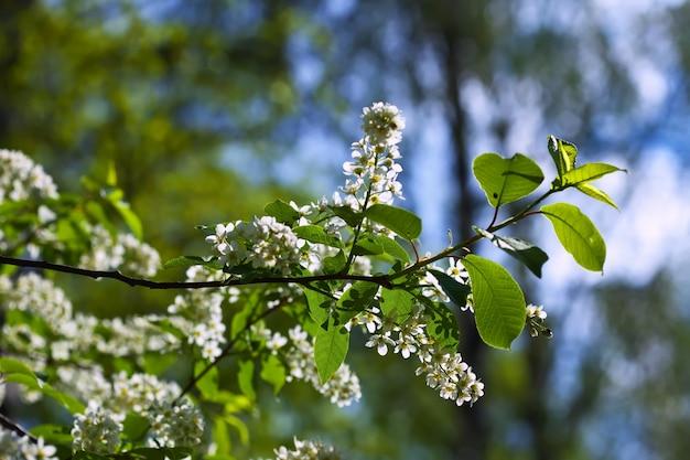 Branche de cerisier des oiseaux sur fond de flou