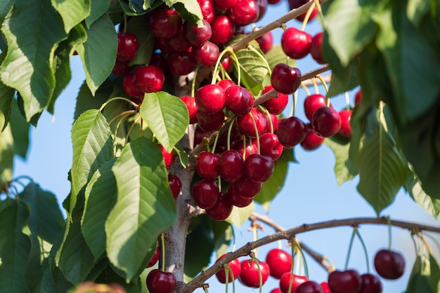 Branche de cerisier pleine de cerise dans le jardin, tarragone, espagne