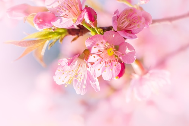Branche de cerisier prunus kanzan