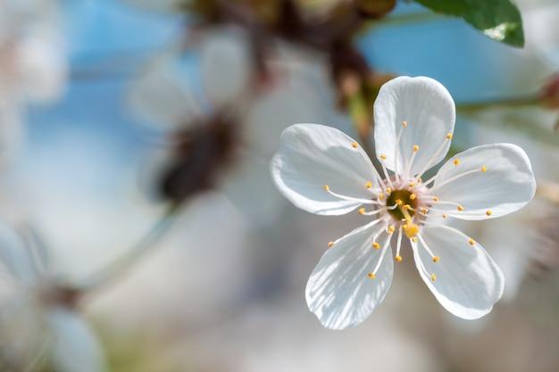 Branche de cerisier romantique avec fleur en fleur.