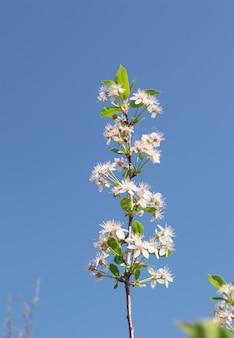 Branche de cerisiers en fleurs sur fond de ciel bleu