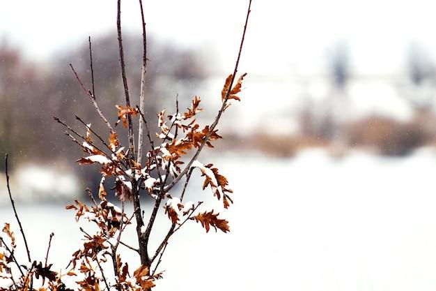 Branche de chêne couverte de neige avec des feuilles sèches sur un arrière-plan flou