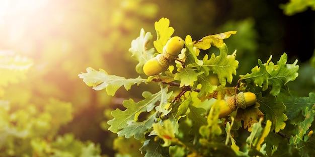 Branche de chêne avec des feuilles et des glands dans la forêt sur un arbre. fond d'automne