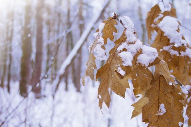Branche de chêne avec des feuilles jaunes orange séchées sous la neige dans une belle forêt d'hiver sur fond violet bleu doux flou. fermer. paysage enneigé d'hiver