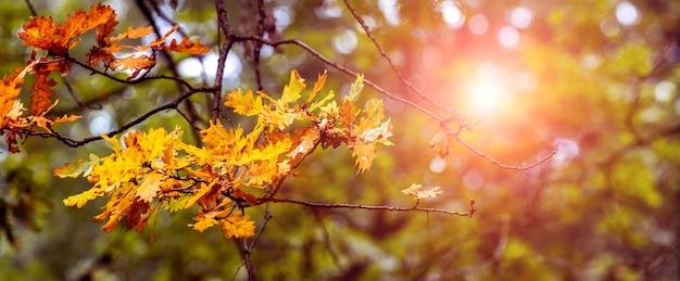 Branche de chêne avec des feuilles sèches dans la forêt d'automne par une journée claire et ensoleillée. journée d'automne ensoleillée dans la forêt