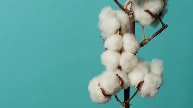 Branche de coton de vraies boules de coton blanches naturelles douces et délicates, des branches de fleurs sur la lumière