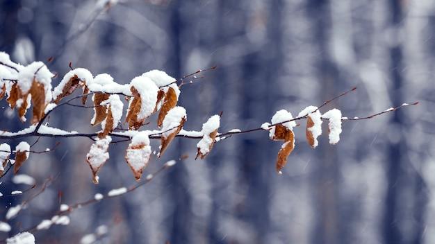 Branche couverte de neige avec des feuilles fanées dans la forêt sur fond sombre