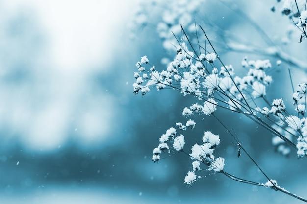 Branche couverte de neige d'une plante sèche sur un arrière-plan flou dans des tons bleus froids