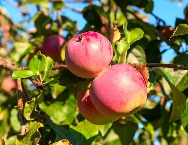 Une branche avec deux pommes rouges. sur une branche avec feuille
