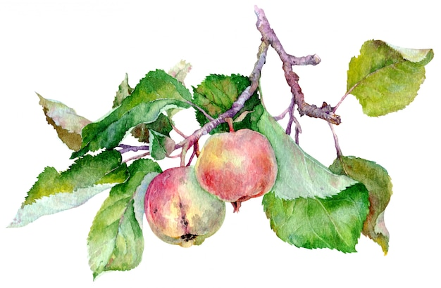 Branche avec deux pommes rouges et feuilles vertes. illustration aquarelle isolée sur fond blanc.