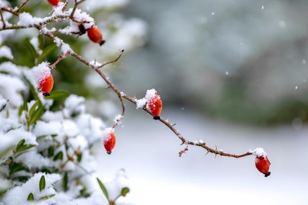 Branche enneigée d'églantier aux fruits rouges