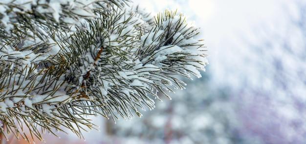 Branche d'épinette couverte de neige dans la forêt d'hiver sur fond flou clair, panorama_