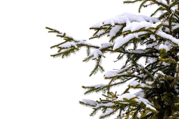 Branche d'épinette couverte de neige sur fond blanc