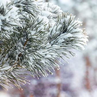 Branche d'épinette couverte de neige sur fond de forêt d'hiver_