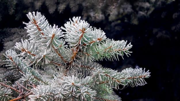 Branche d'épinette épaisse recouverte de givre sur fond sombre
