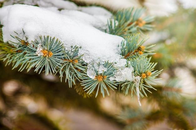 La branche d'épinette est recouverte d'une épaisse couche de neige_