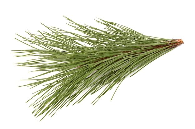 Branche d'épinette sur fond blanc