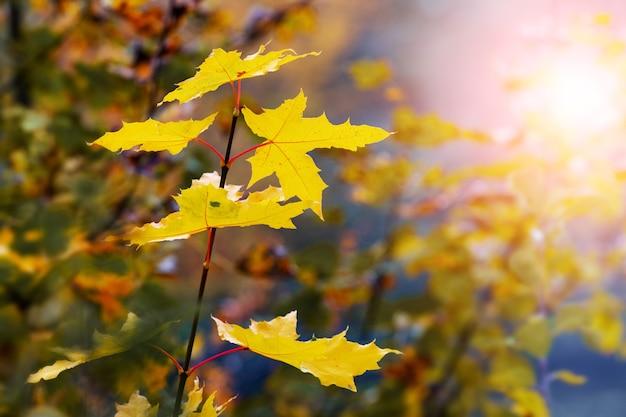 Branche d'érable avec des feuilles d'automne jaunes dans la forêt contre le soleil. automne doré dans la forêt
