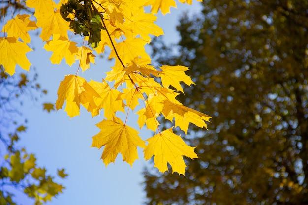 Branche avec érable jaune soleil automne feuilles en forêt, journée ensoleillée.
