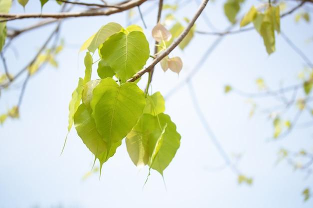 Branche de feuille de bodhi sur un arbre symbole du bouddhisme