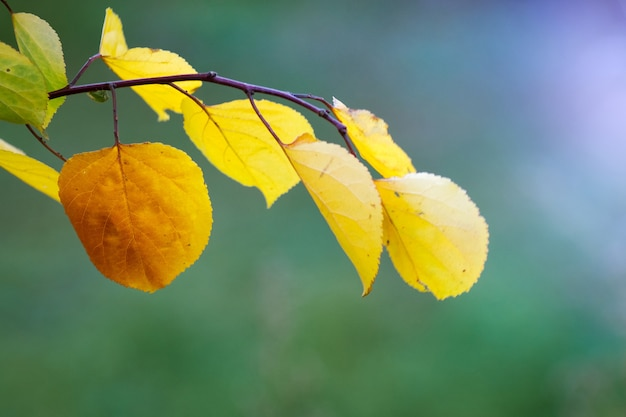 Branche avec des feuilles d'automne jaunes sur un vert flou par temps ensoleillé