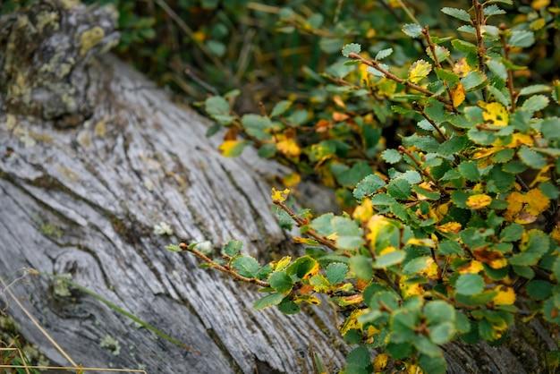 Branche avec des feuilles d'automne jaunes et vertes sur le fond d'un vieil arbre, gros plan, flou.