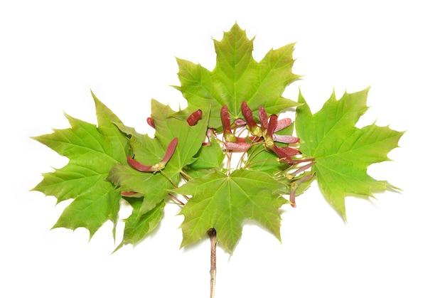Branche avec des feuilles vertes isolé sur blanc