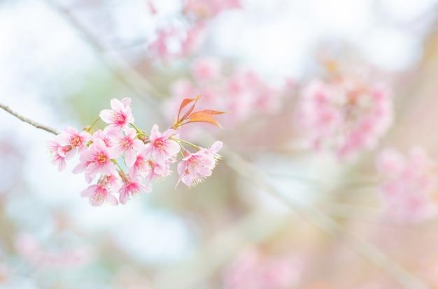 Branche de fleur de cerisier sauvage de l'himalaya au printemps sur la montagne en forêt, foc